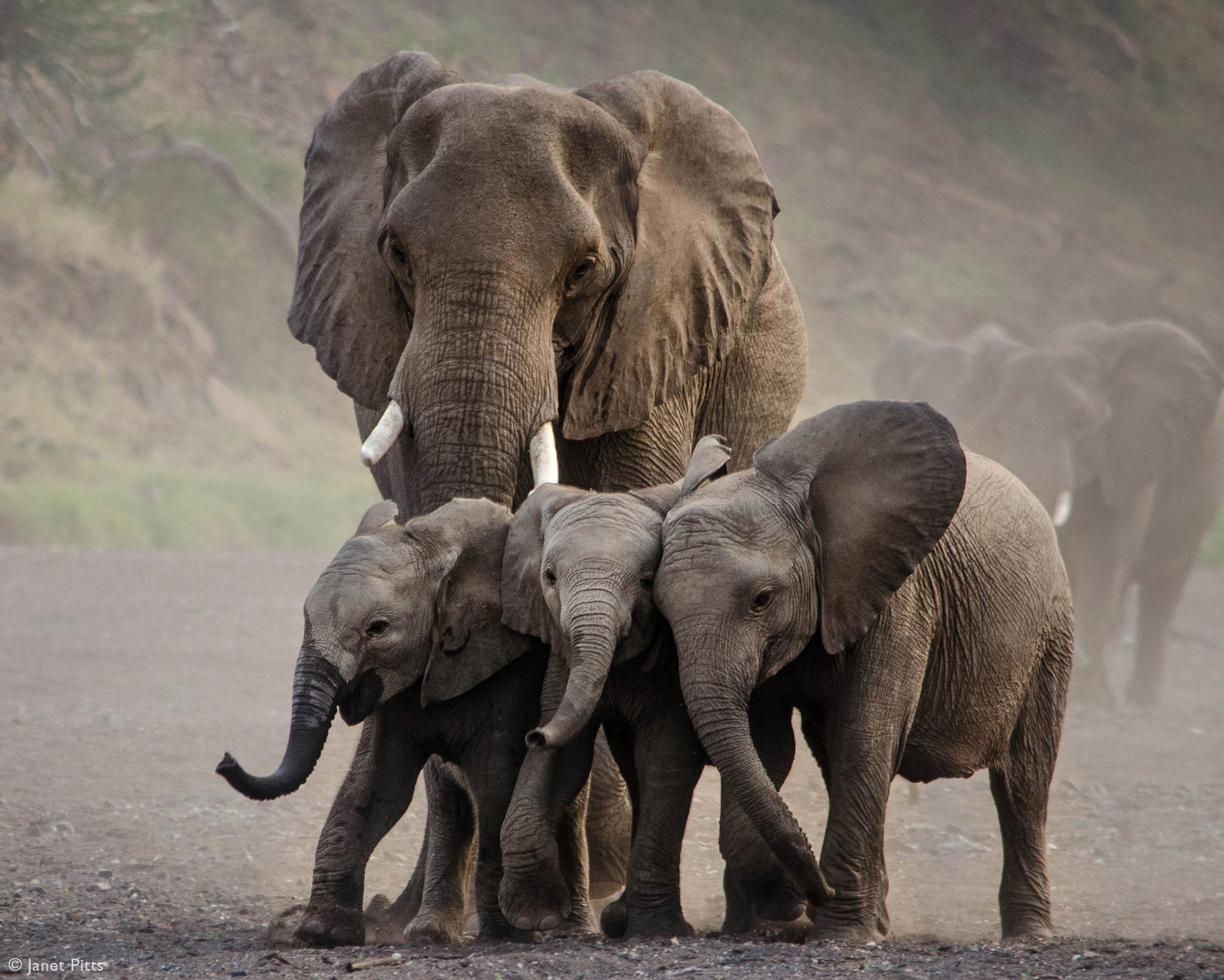 Three elephant calves are herded towards the waterhole in Mashatu Game Reserve, Botswana