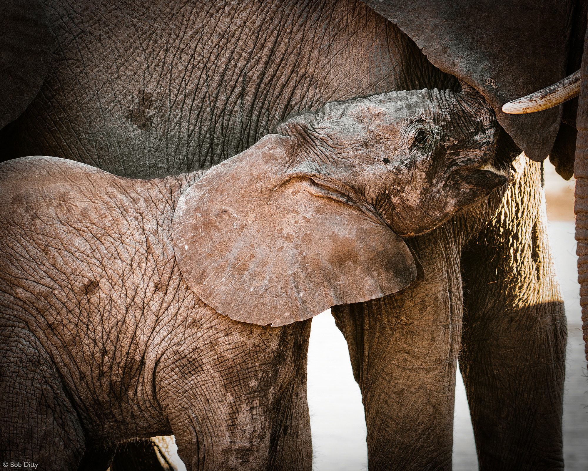 Elephant calf suckling from mother in Klaserie Private Nature Reserve, South Africa