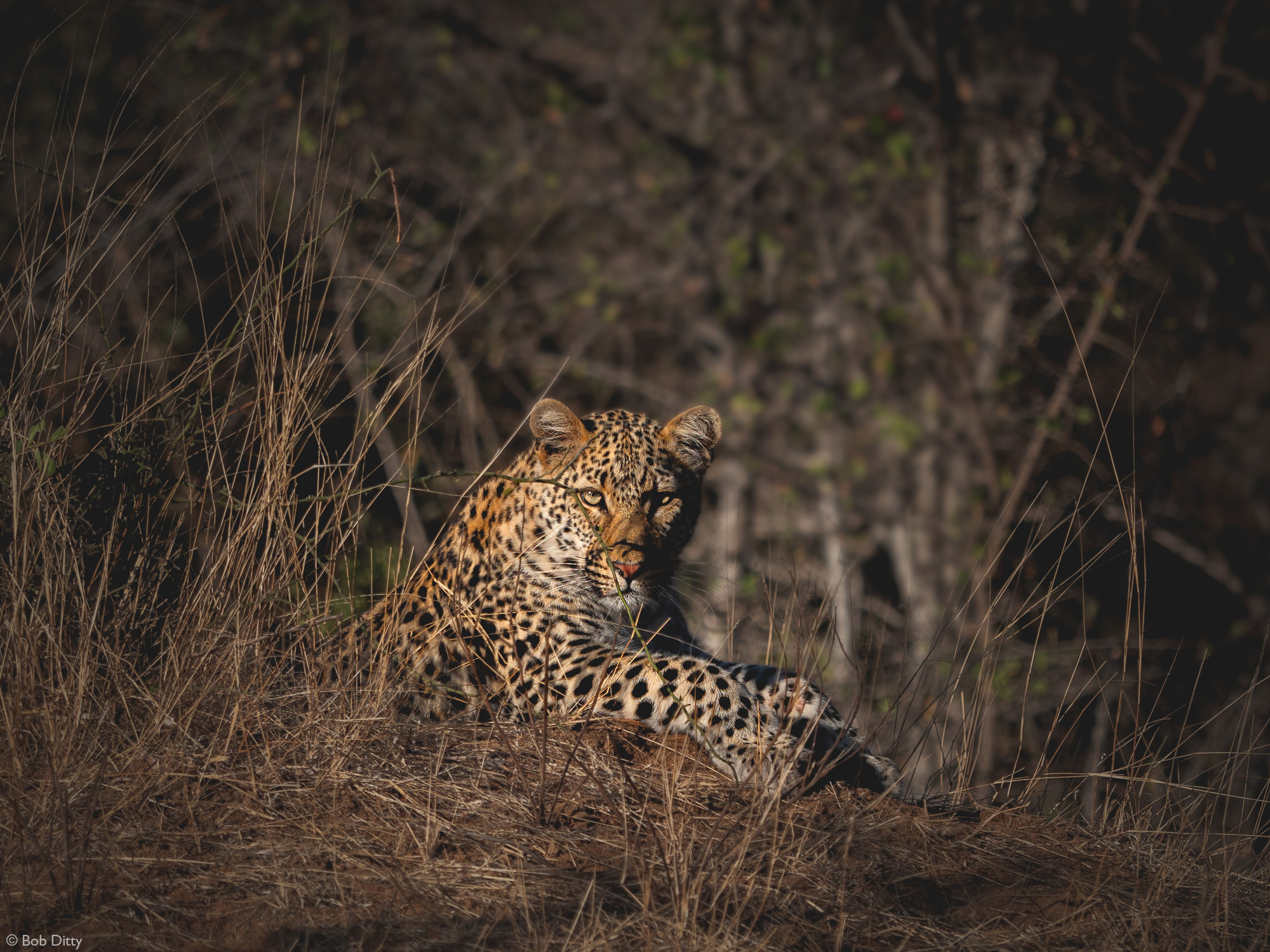 Leopard in Klaserie Private Nature Reserve, South Africa