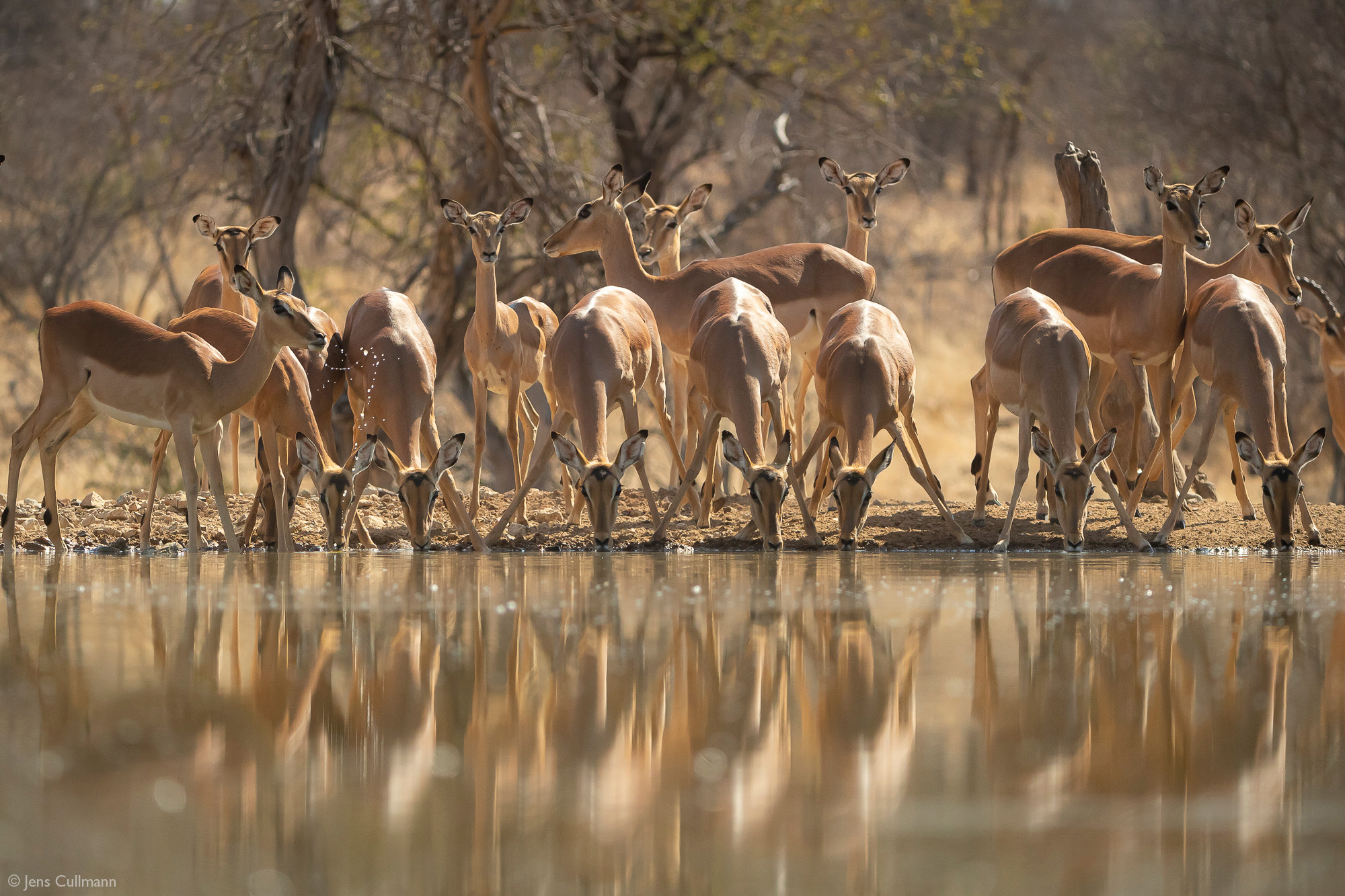 Impala herd at a waterhole, Klaserie Private Nature Reserve, South Africa