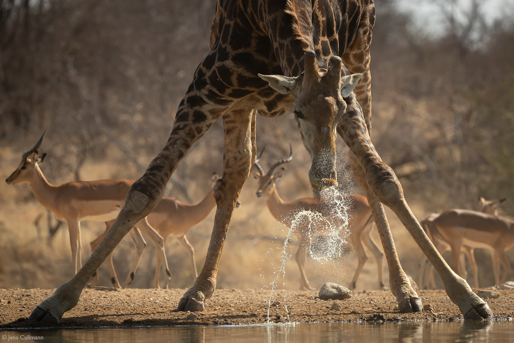 Giraffe drinking at a waterhole, Klaserie Private Nature Reserve, South Africa