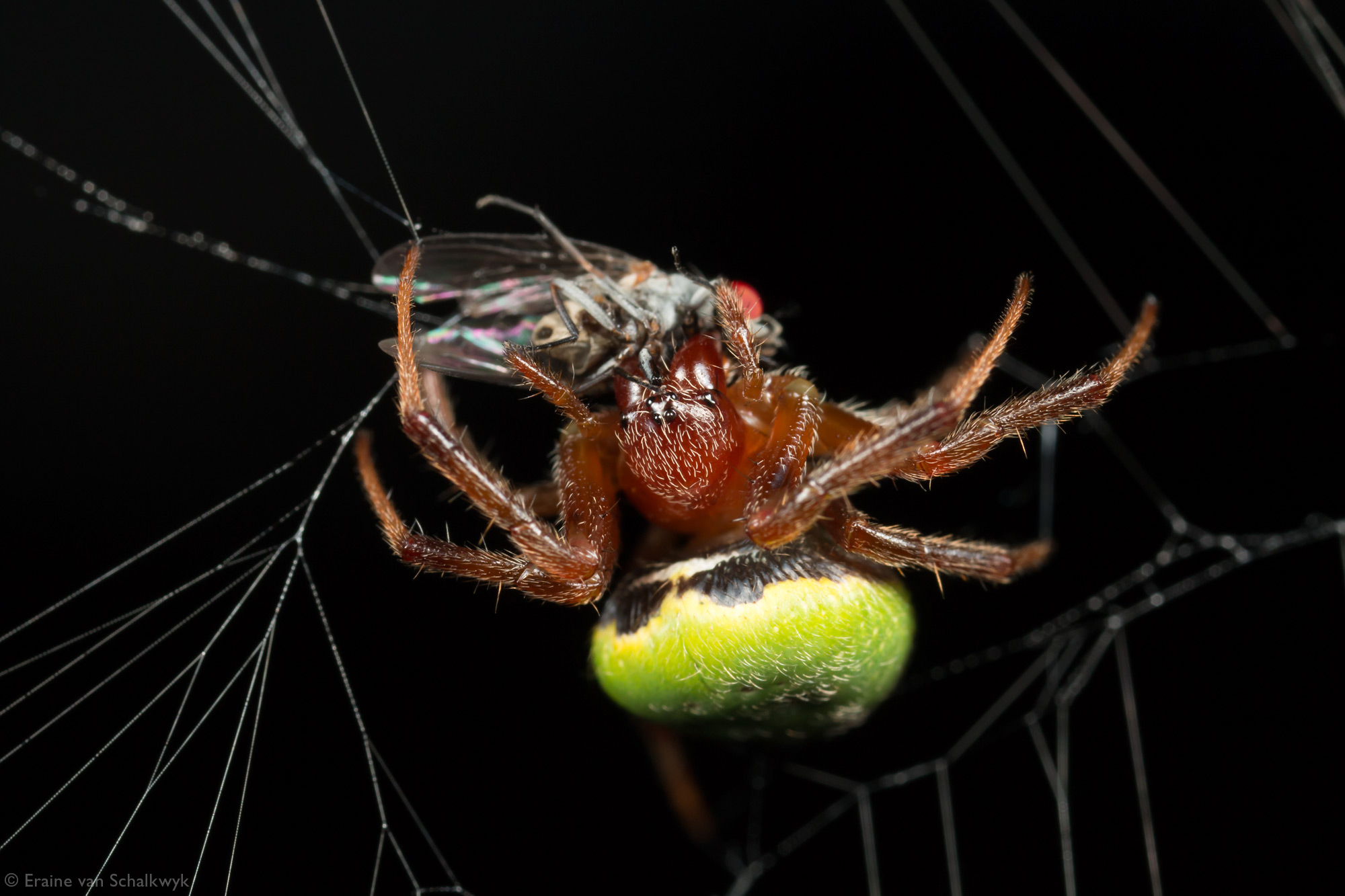 Green pea spider with prey, spider, arachnid, macro photography