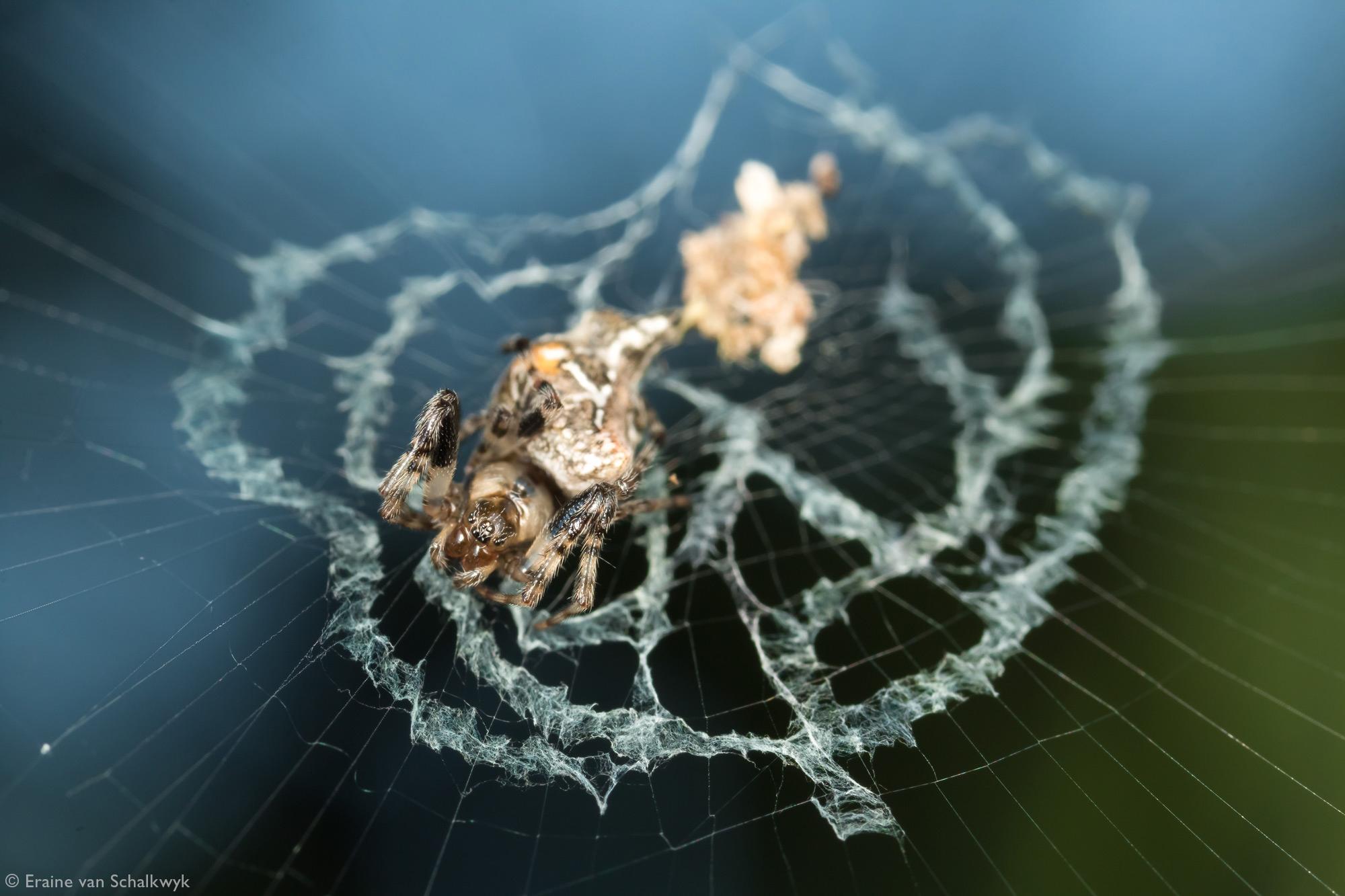 Spider in an orb web, spider, arachnid, macro photography