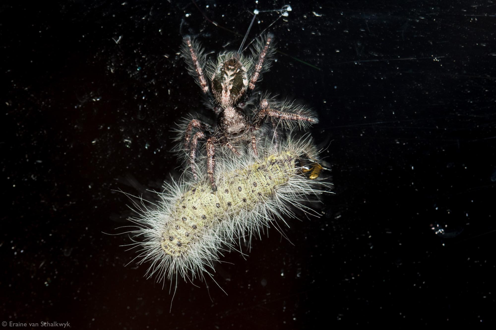 Jumping spider (Hyllus treleaveni) with a processionary caterpillar, spider, arachnid, macro photography