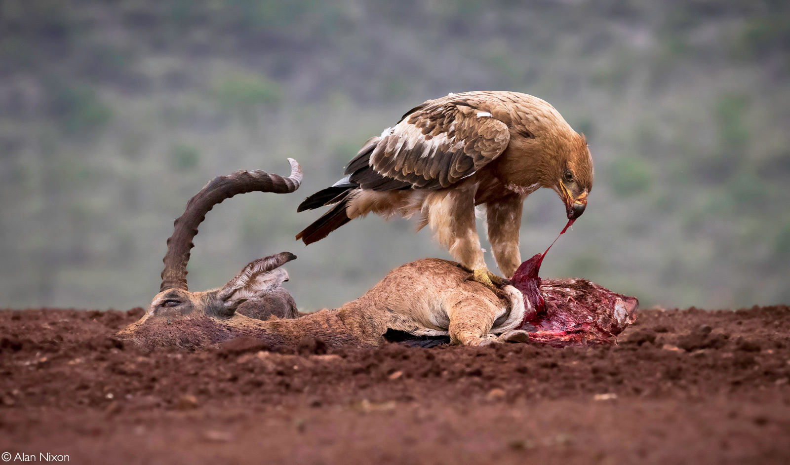 A tawny eagle having his share of a carcass. Zimanga Private Game Reserve, South Africa © Alan Nixon