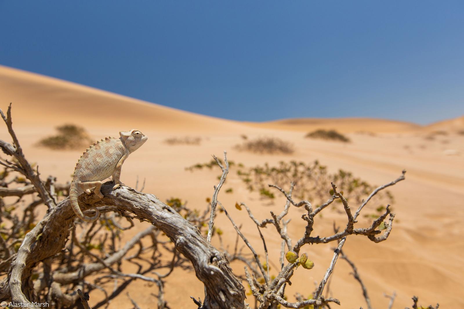 A Namaqua chameleon surveying its surroundings in the Namib Desert. Near Swakopmund, Namibia © Alastair Marsh