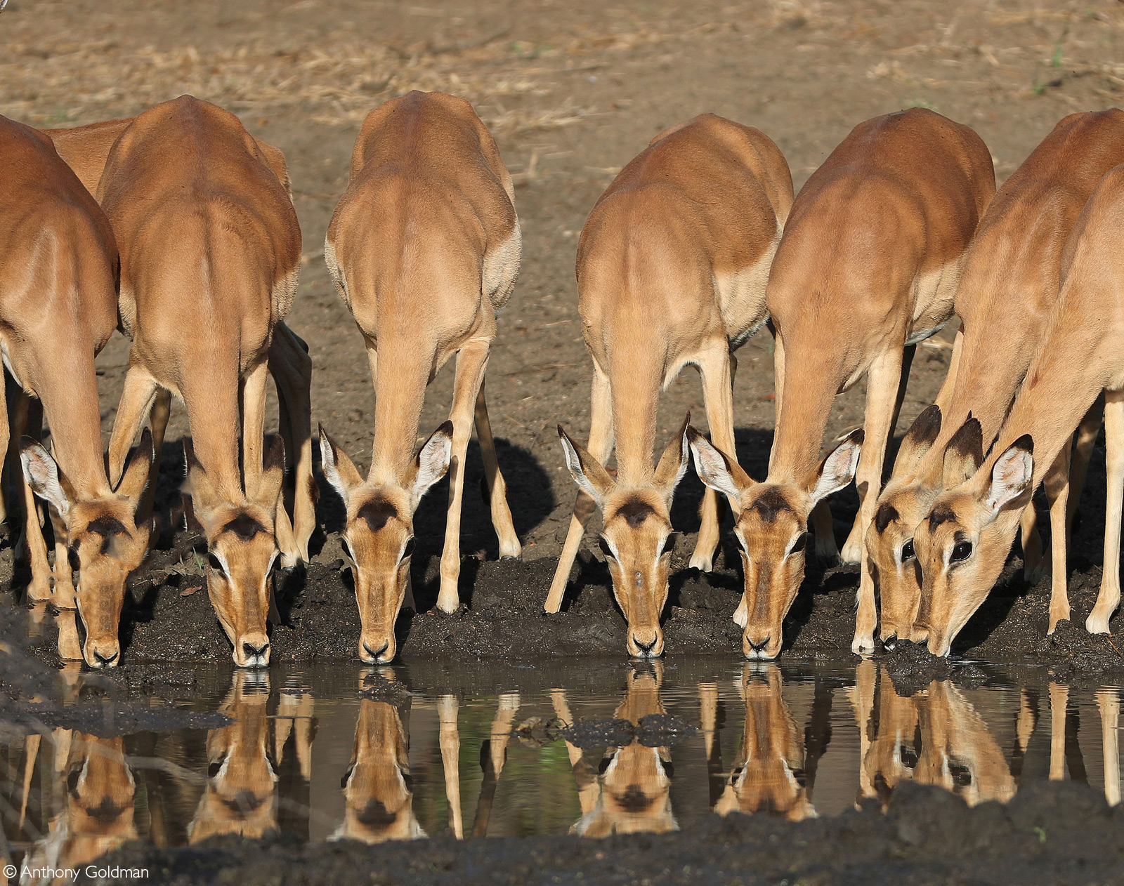 Impala with reflections on a waterhole. Londolozi Private Game Reserv, South Africa © Pranav Chadha