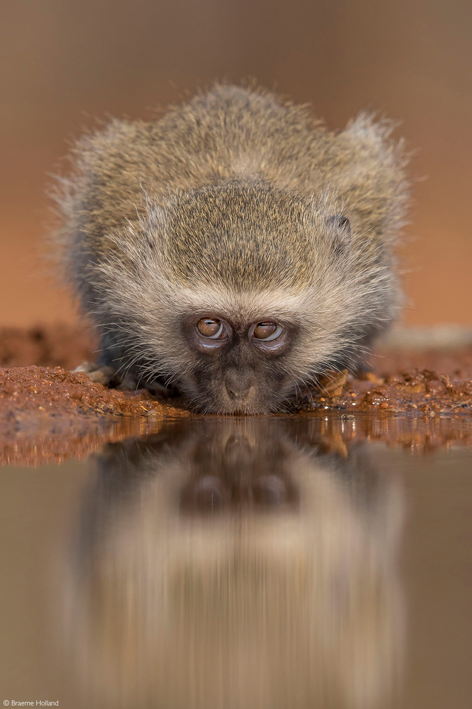 A rather mischievious-looking vervet monkey eyes out the photographer. Greater Kruger, South Africa © Braeme Holland