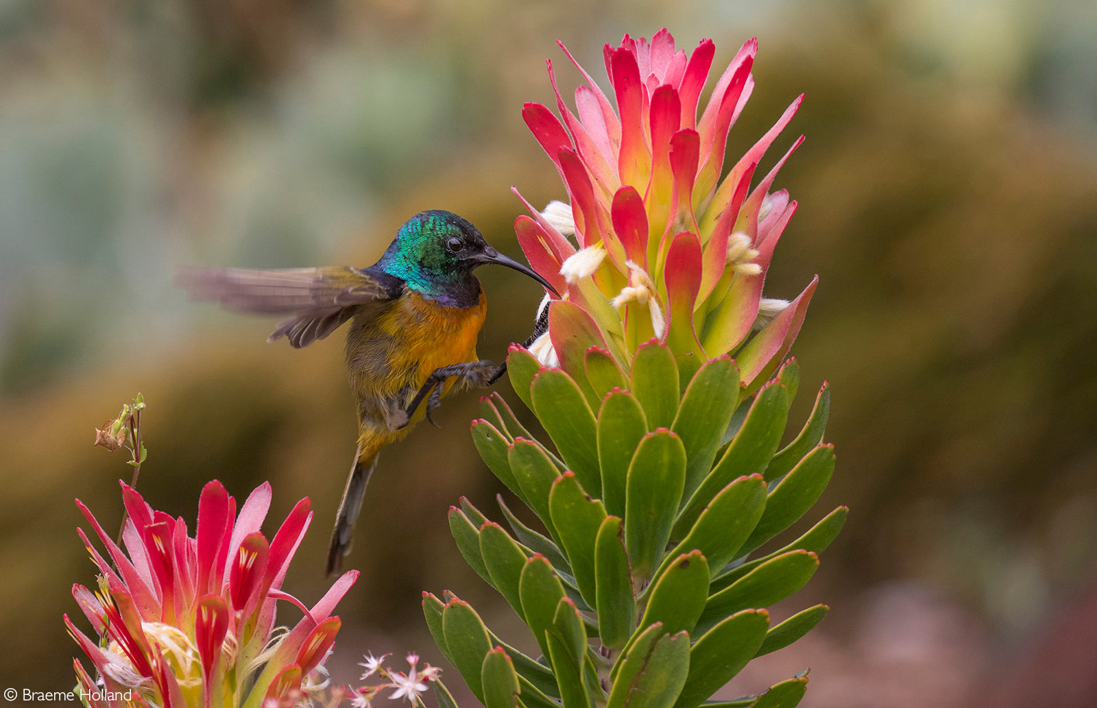 An orange-breasted sunbird in search of the sweet nectar from a common pagoda. Taken Kirstenbosch Botanical Gardens, Cape Town, South Africa © Braeme Holland