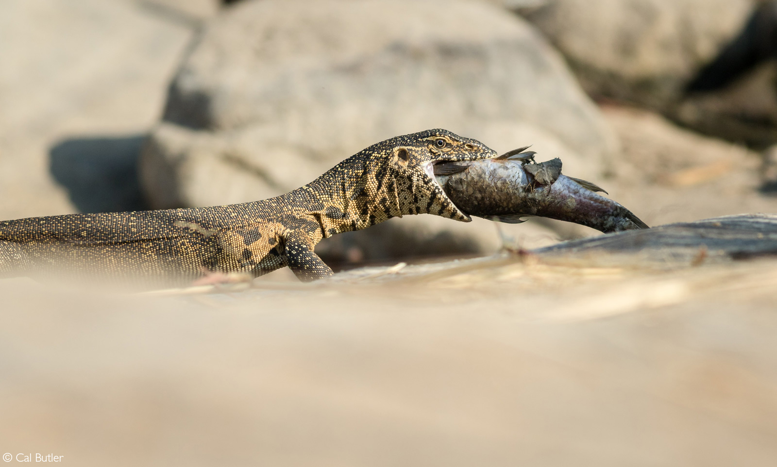 A water monitor carries a fish through a rocky section along the Sand River. Sabi Sand Private Game Reserve, South Africa© Cal Butler