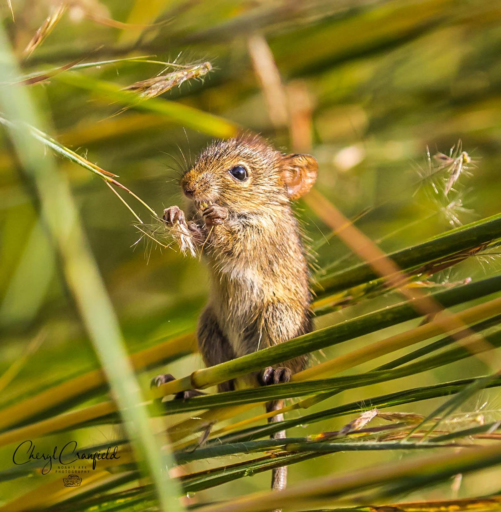A young mouse feeds on grass seeds. Kirstenbosch Botanical Gardens, Cape Town, South Africa © Cheryl Cranfield