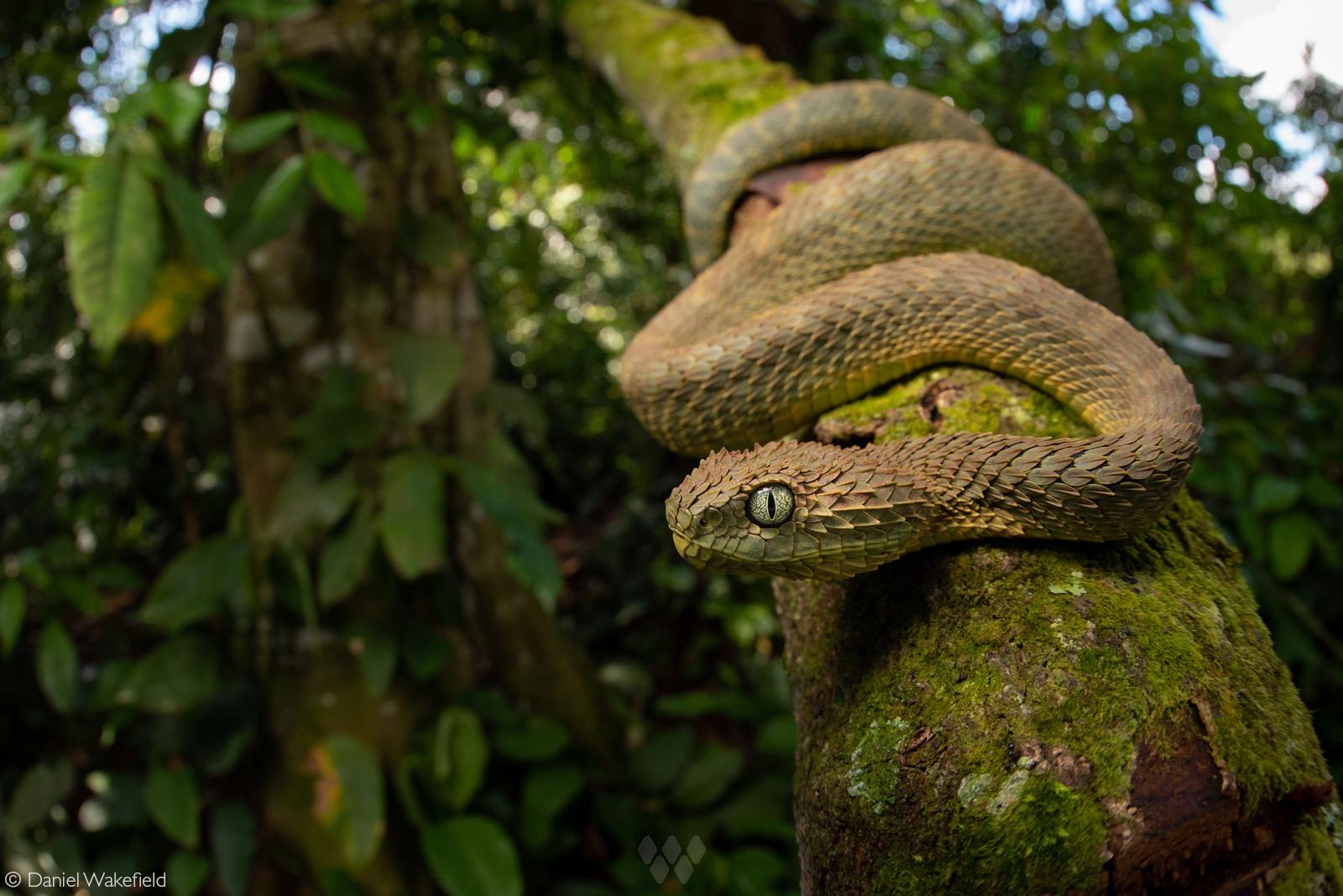 A variable bush viper in its rainforest habitat. Mityana district, west of Kampala, Uganda © Daniel Wakefield