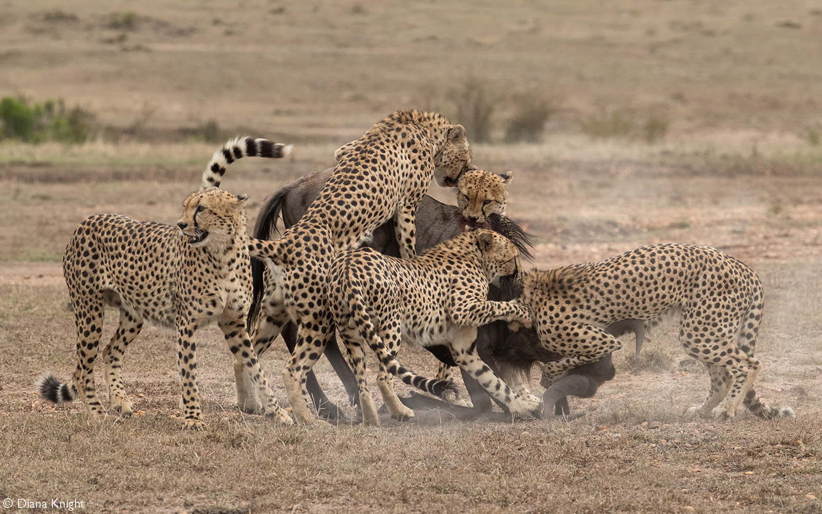 A coalition of five male cheetahs successfully take down a wildebeest. Maasai Mara National Reserve, Kenya © Diana Knight