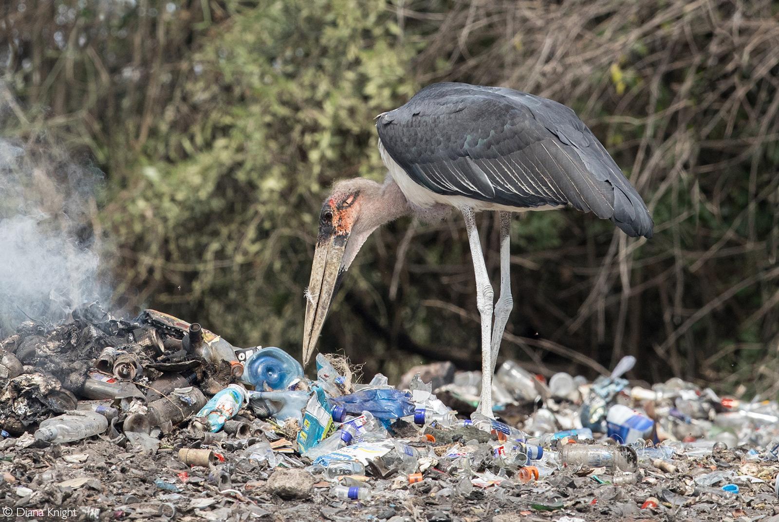 A marabou stork scavenges at a rubbish tip. Talek, Kenya © Diana Knight