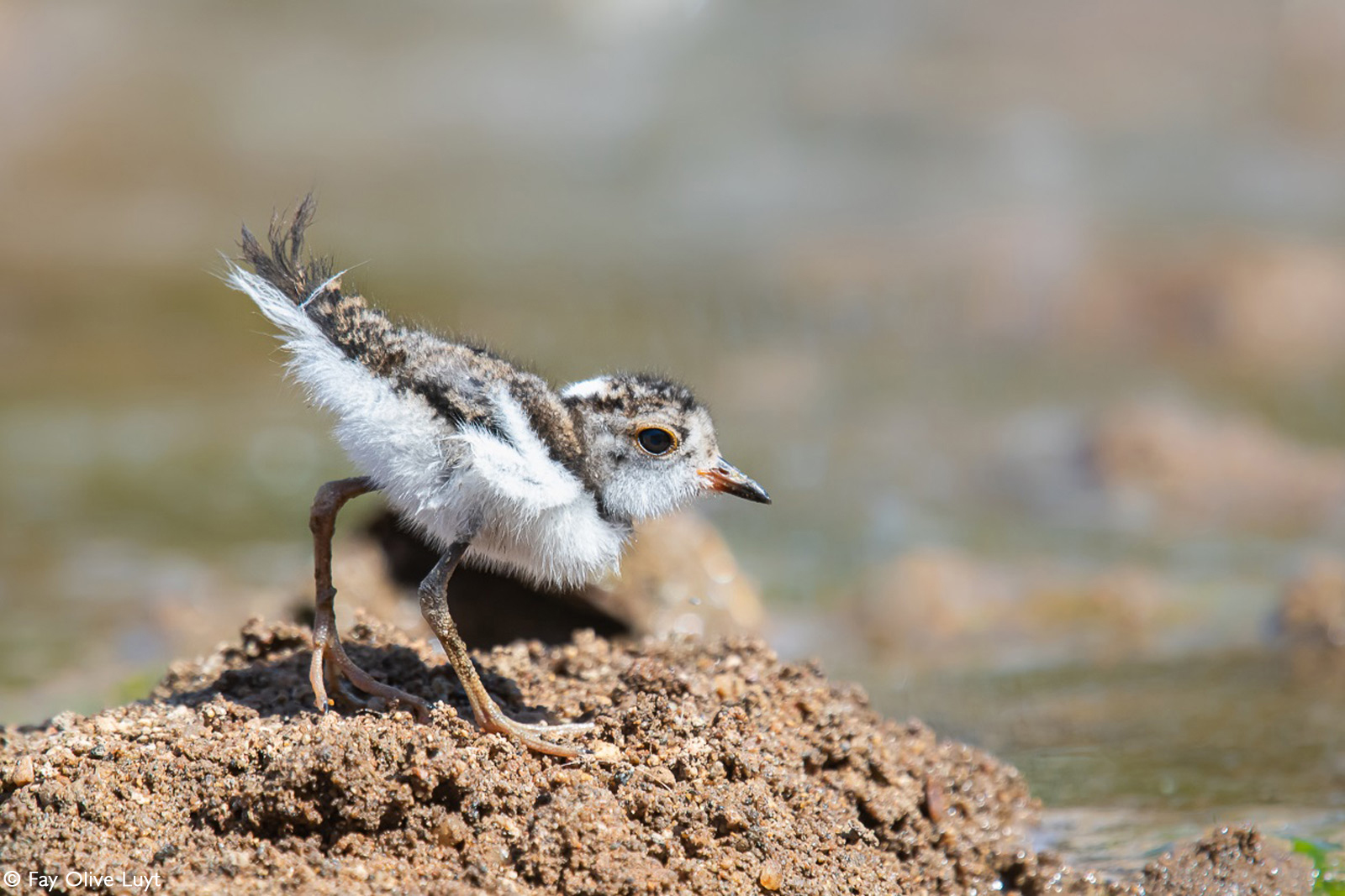 A three-banded plover chick. Kruger National Park, South Africa © Fay Olive Luyt
