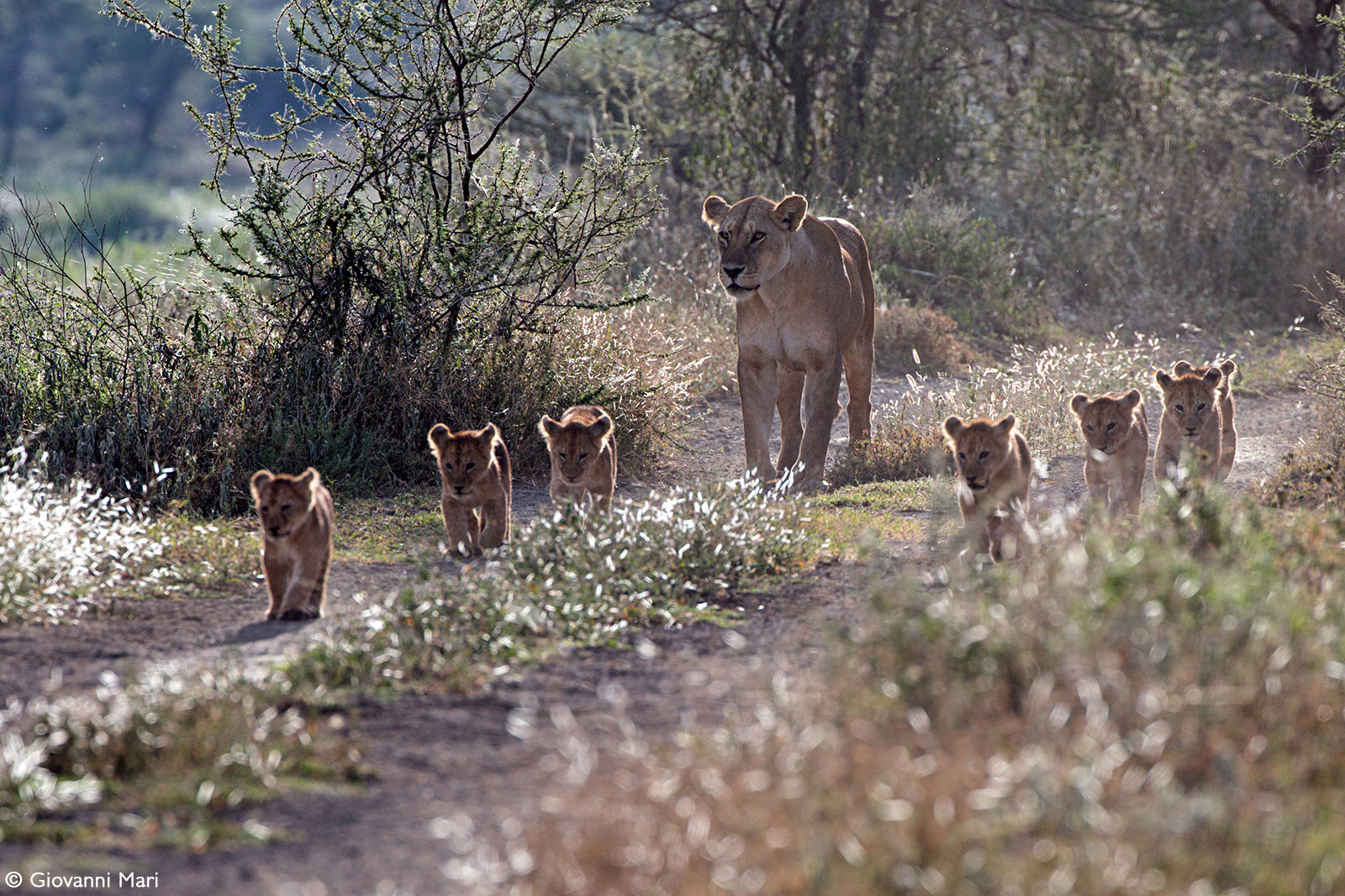 A lioness walks with cubs down a dirt road. Ngorongoro Conservation Area, Tanzania © Giovanni Mari