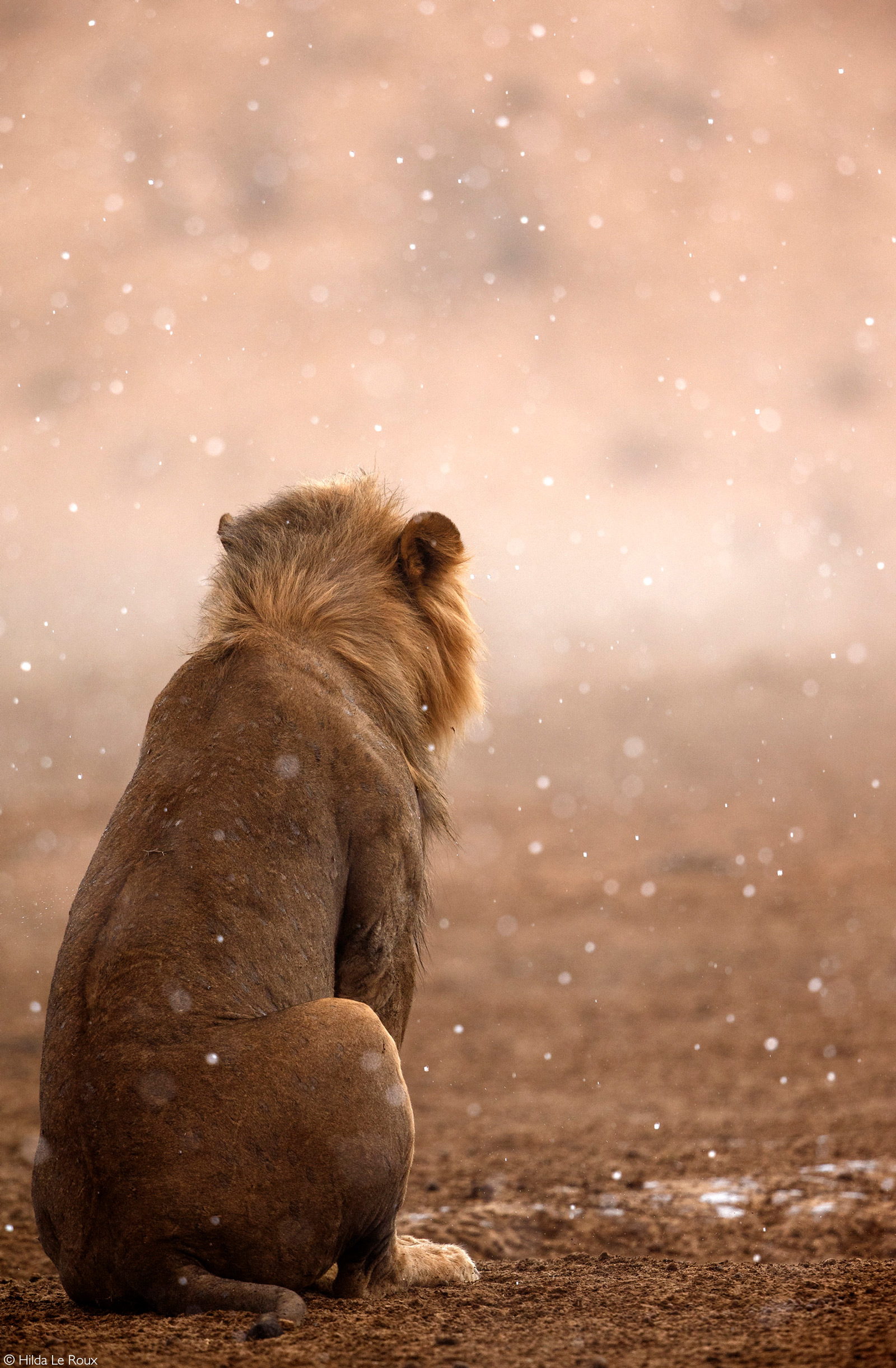 A lion sits in the rain. Kgalagadi Transfrontier Park, South Africa © Hilda Le Roux