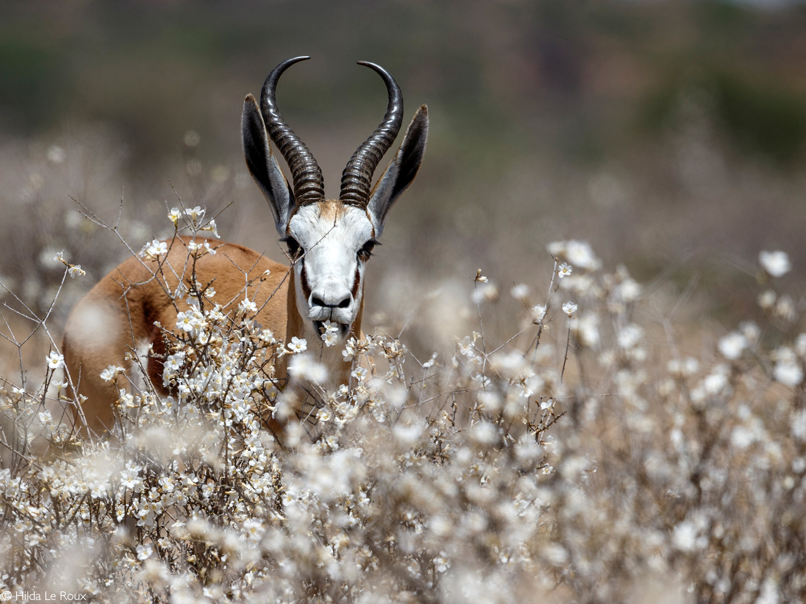 A springbok enjoying the flowers after the first shower of rain. Kgalagadi Transfrontier Park, South Africa © Hilda Le Roux