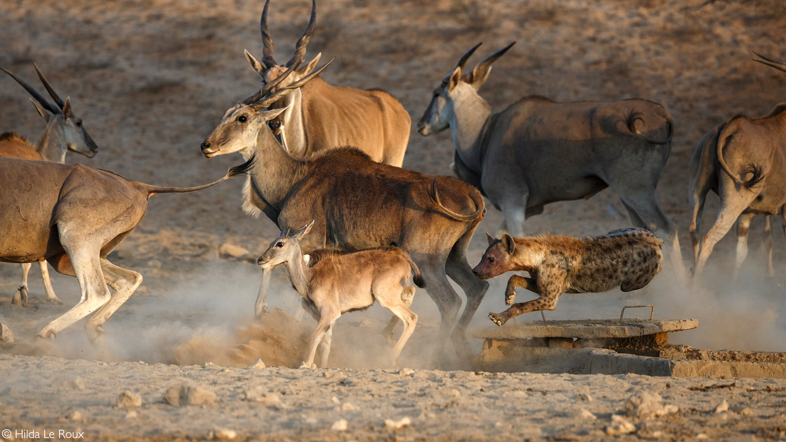 Moments before a spotted hyena catches an eland calf. Kgalagadi Transfrontier Park, South Africa © Hilda Le Roux