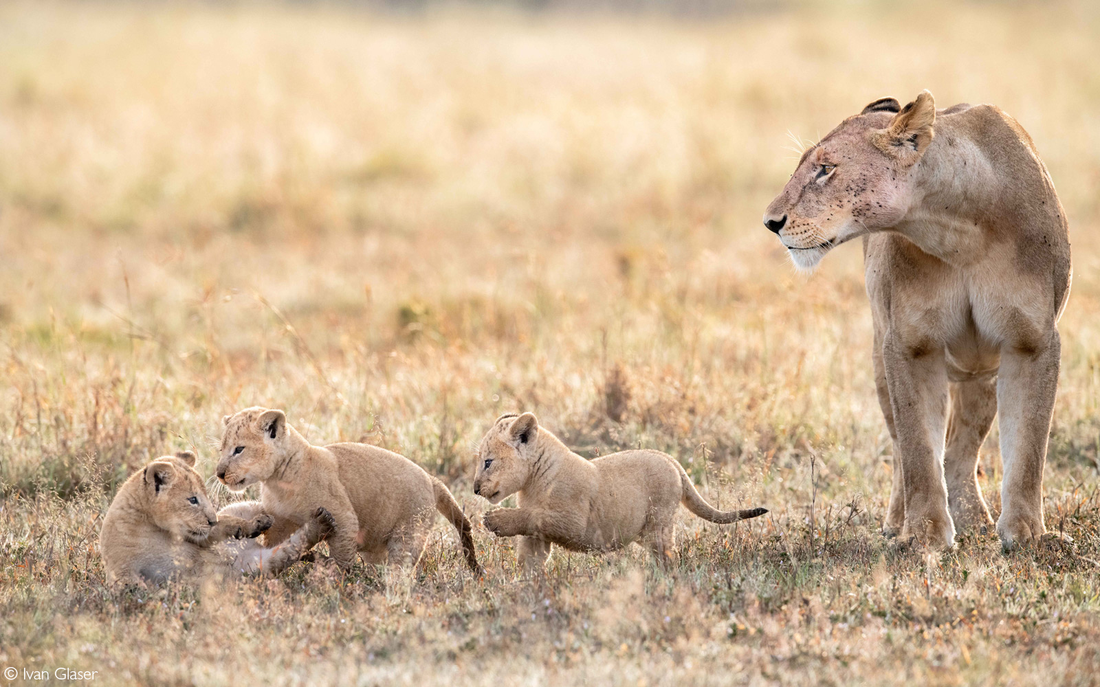 """The lioness named """"Longneck"""" and three of her cubs. Maasai Mara National Reserve, Kenya © Ivan Glaser"""