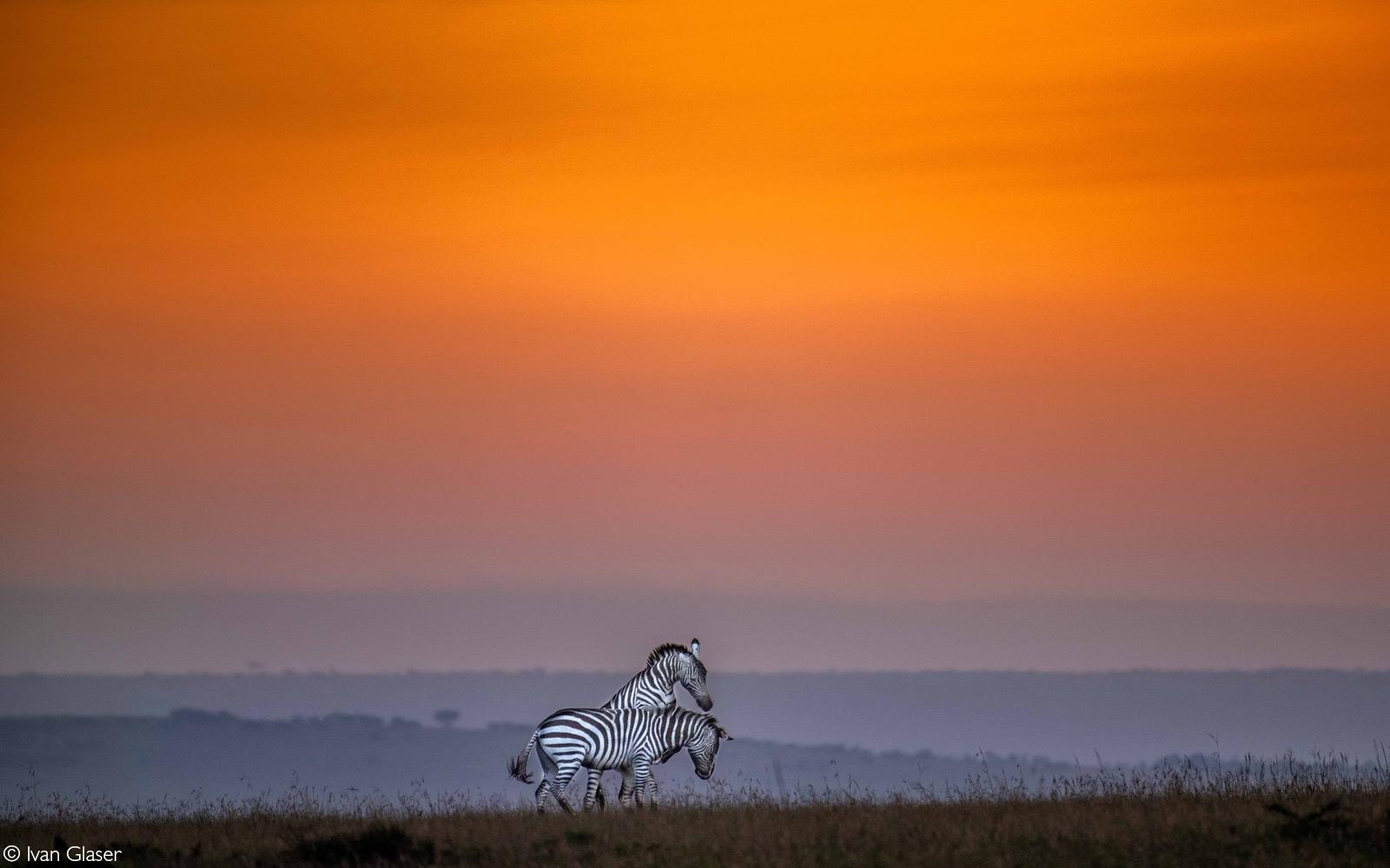 Zebra playing at dawn. Maasai Mara National Reserve, Kenya © Ivan Glaser
