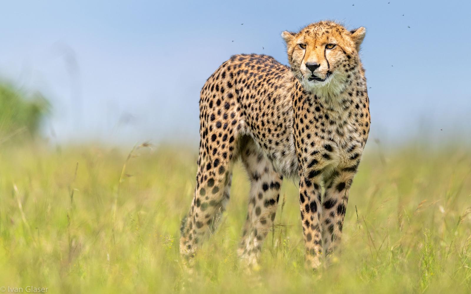 Portrait of a young cheetah. Maasai Mara National Reserve, Kenya © Ivan Glaser
