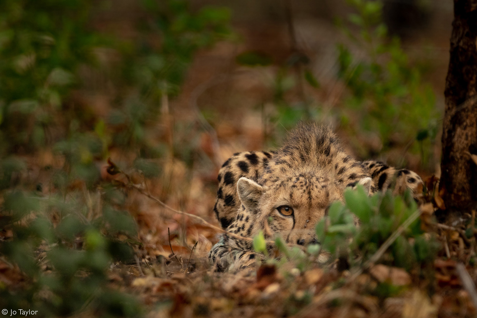 A newly introduced cheetah keeps a sharp eye out after relocating from South Africa to Malawi. Majete Wildlife Reserve, Malawi © Jo Taylor