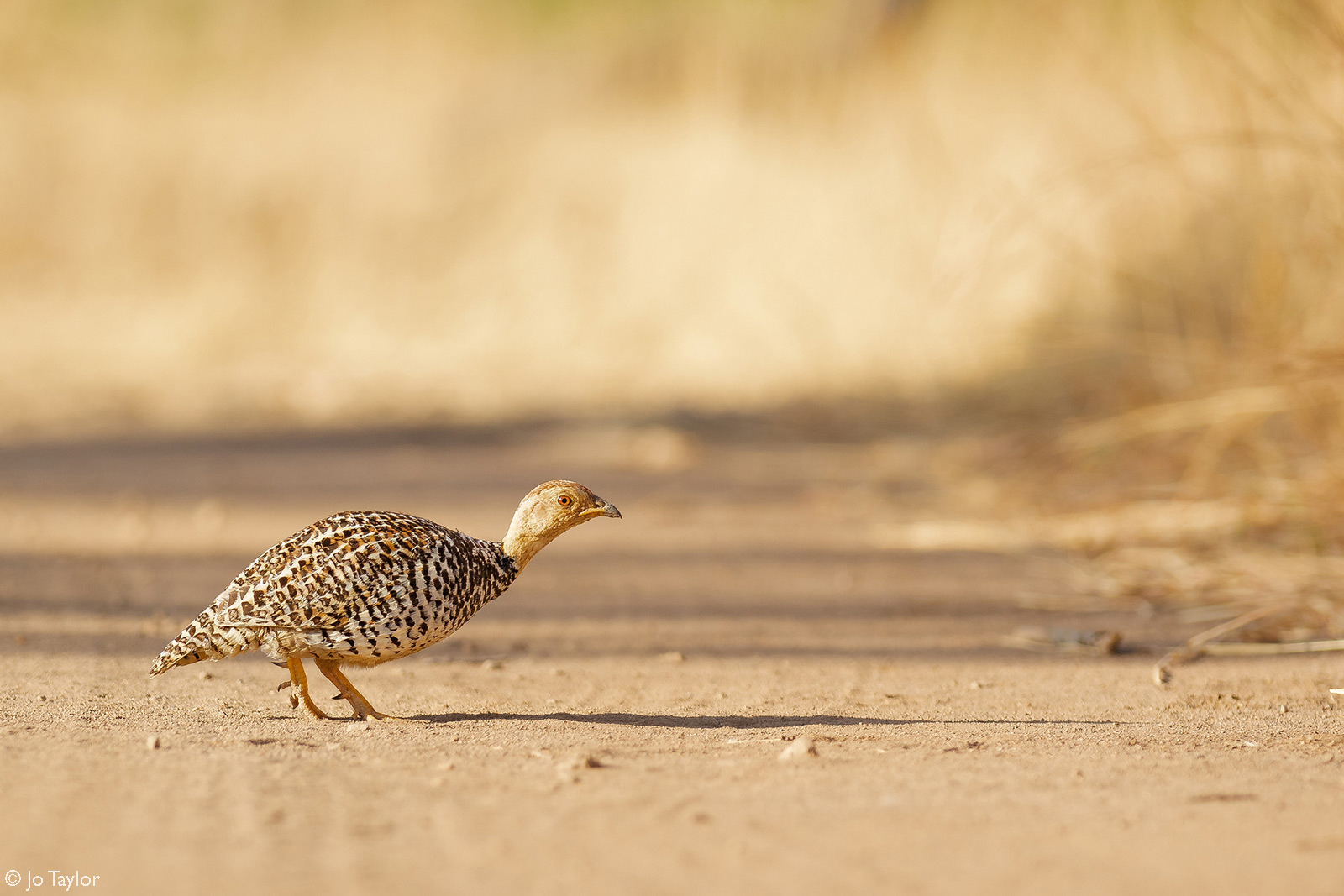 A Coqui francolin slinks across the road. Pilanesberg National Park, South Africa © Jo Taylor