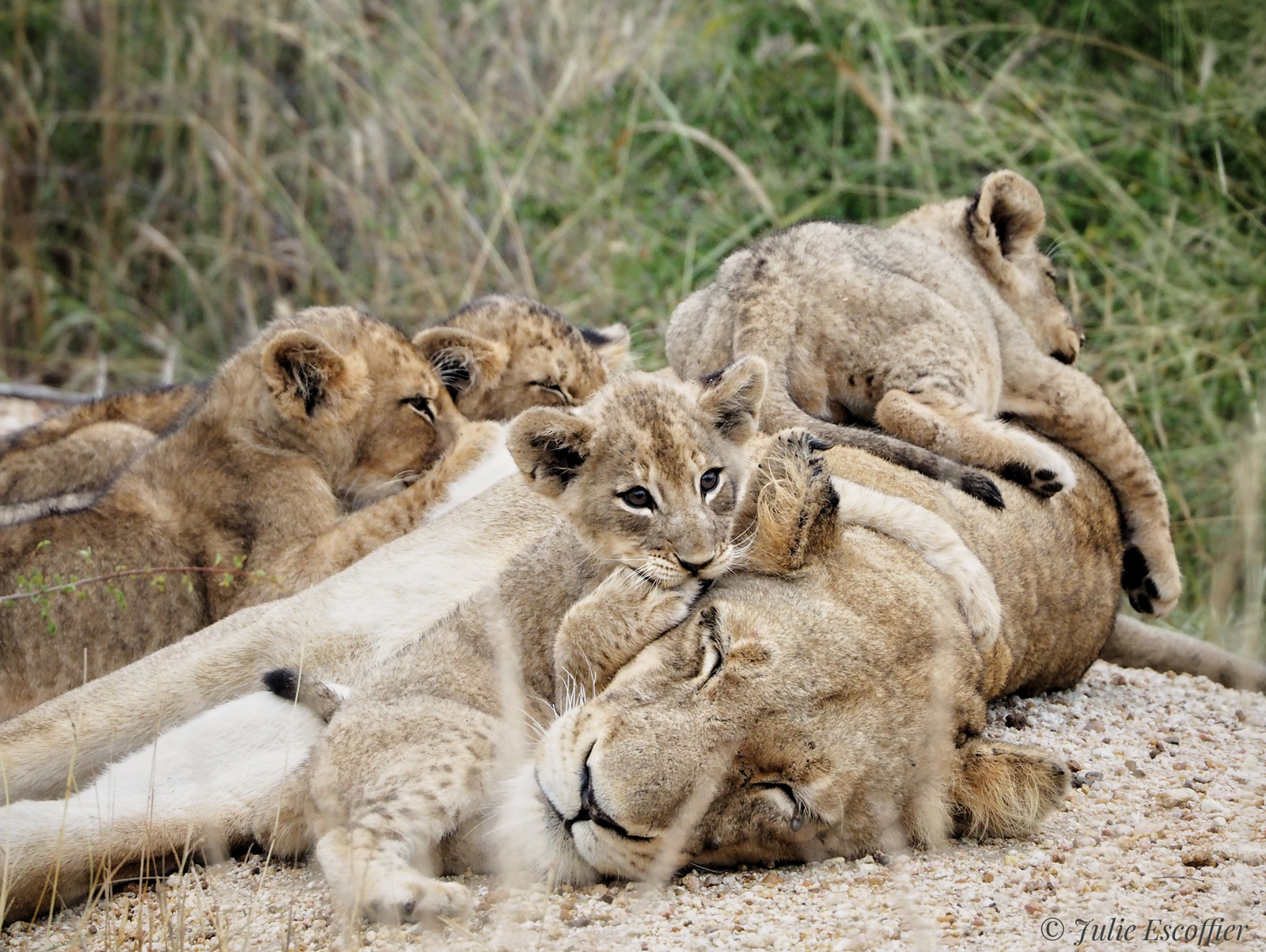 Lion cubs play on their mother while she tries to rest. Sabi Sand Private Game Reserve, South Africa © Julie Escoffier