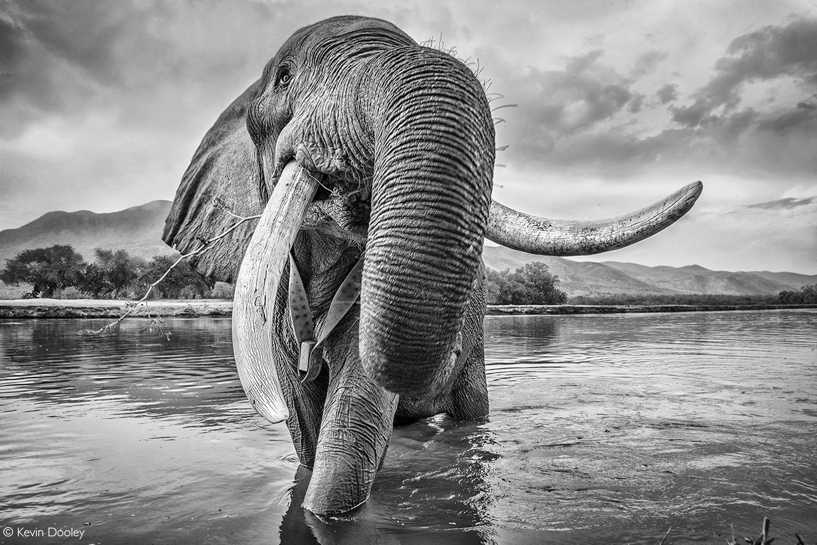 This huge bull elephant was busy drinking water in the Zambezi River. I crawled down to the riverbank and with a low angle I got this image. Mana Pools National Park, Zimbabwe © Kevin Dooley