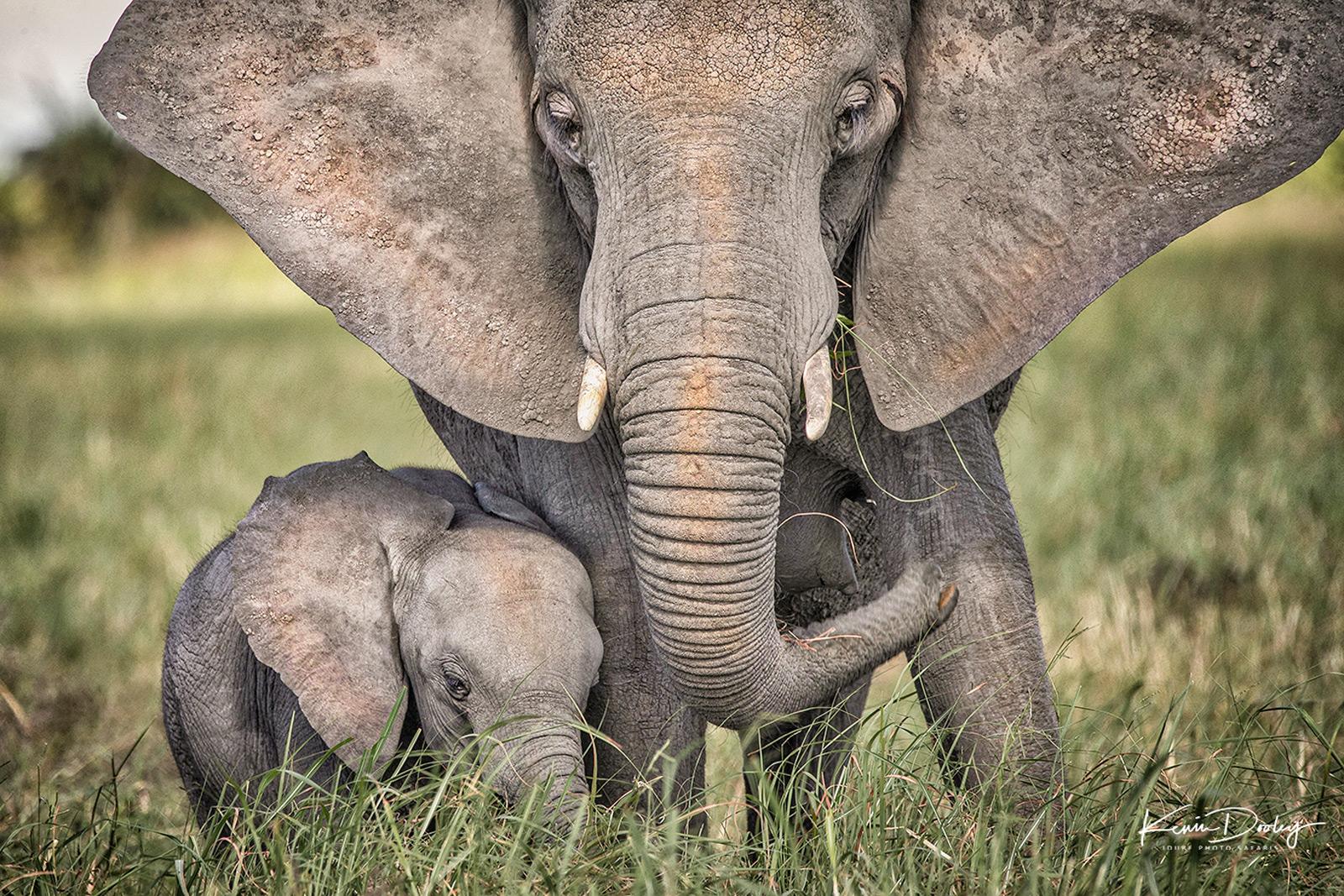 An elephant mother with her calf. Okavango Delta, Botswana © Kevin Dooley