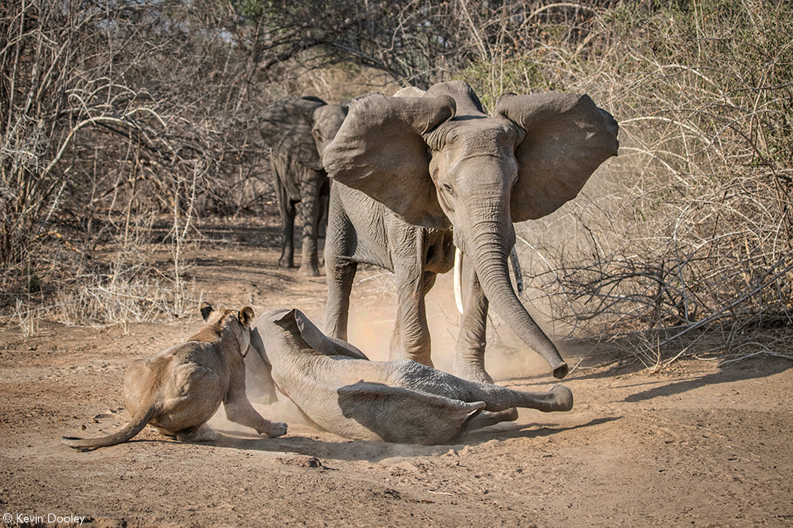 A mother elephant comes to the rescue to save her calf from a lioness. Mana Pools National Park, Zimbabwe © Kevin Dooley