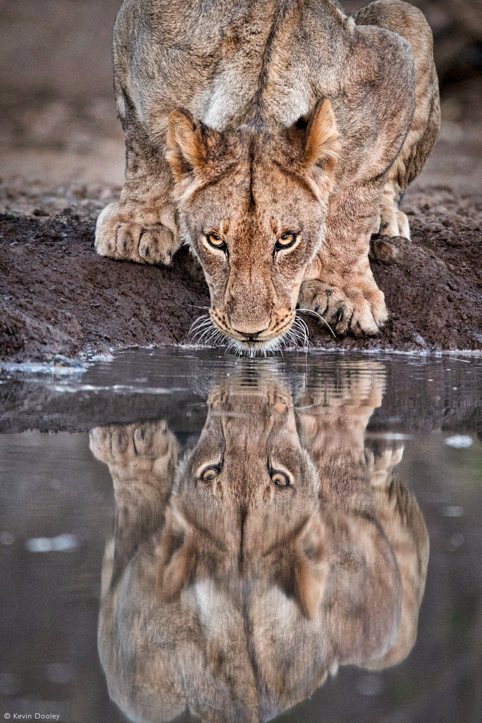 A lioness gets in a quick evening drink. Mashatu Game Reserve, Botswana © Kevin Dooley