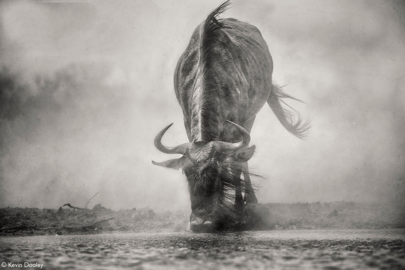 A massive dust storm brings this thirsty wildebeest to water. Mashatu Game Reserve, Botswana © Kevin Dooley