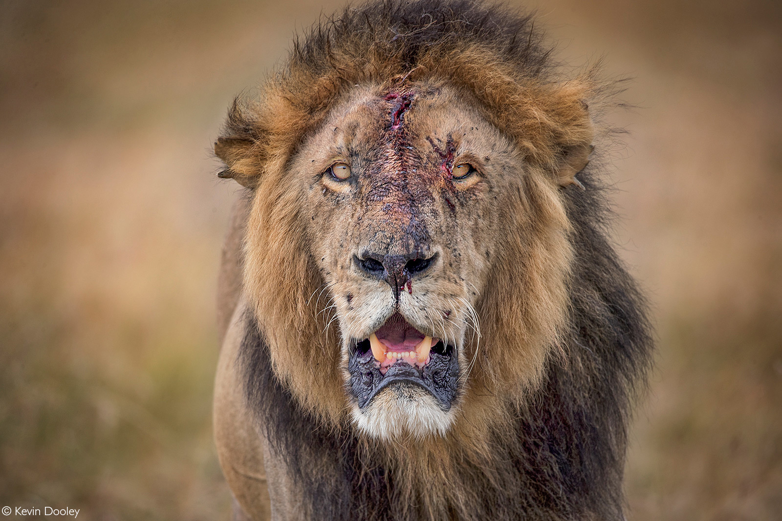 A lion after a fight with his brother. Maasai Mara National Reserve, Kenya © Kevin Dooley
