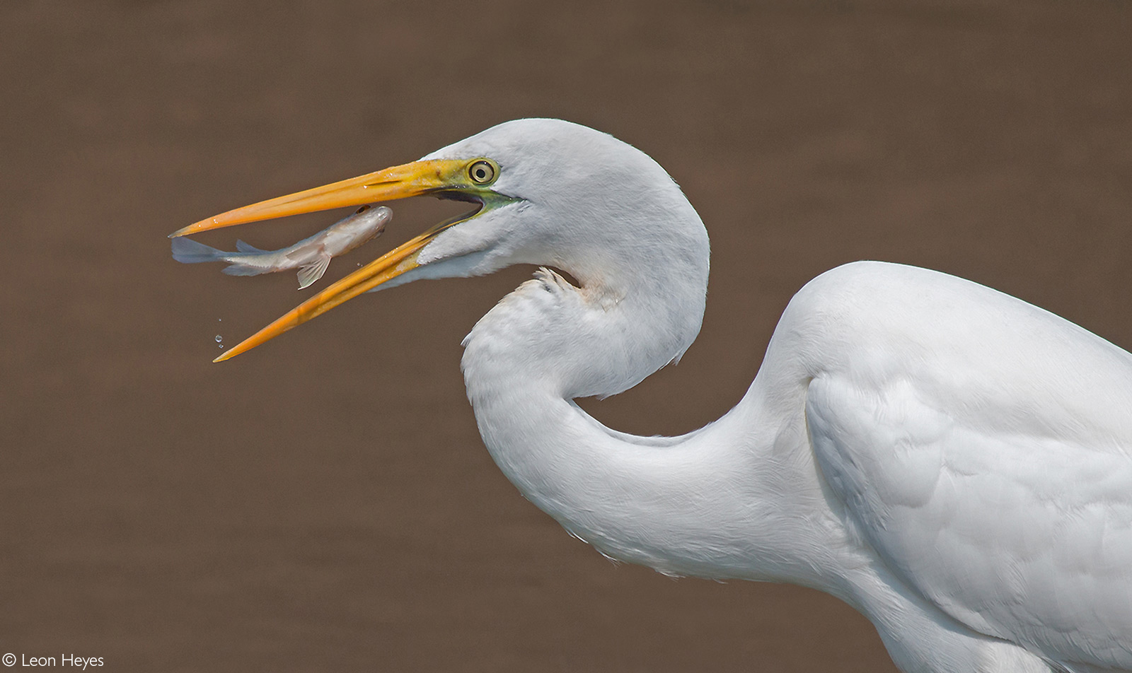 A great white egret catches his lunch at Sunset Dam. Kruger National Park, South Africa © Leon Heyes