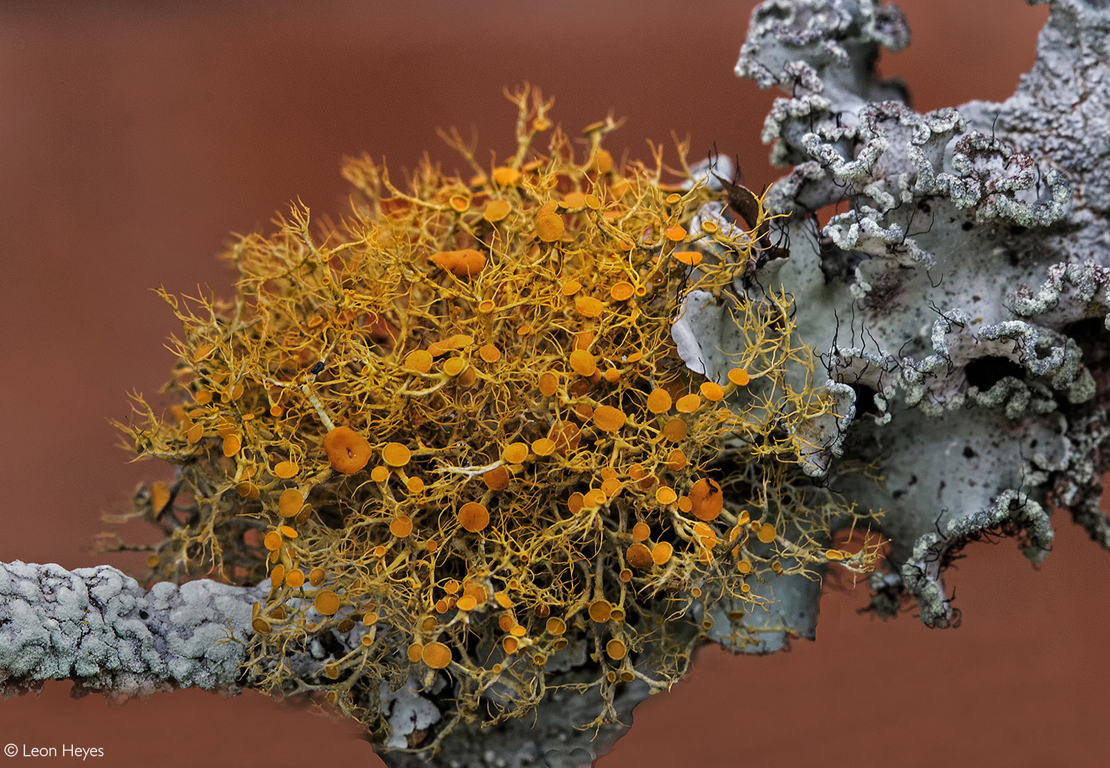 Up close of lichen growing on a bougainvillea plant. Pietermaritzburg, South Africa © Leon Heyes