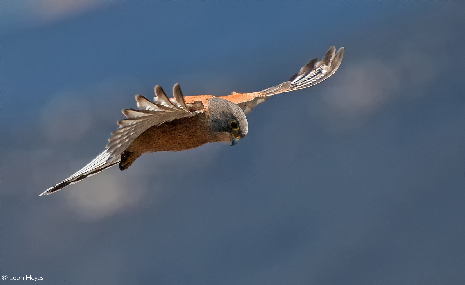 A rock kestrel on the lookout for potential prey. Giant's Castle, Drakensberg, South Africa © Leon Heyes