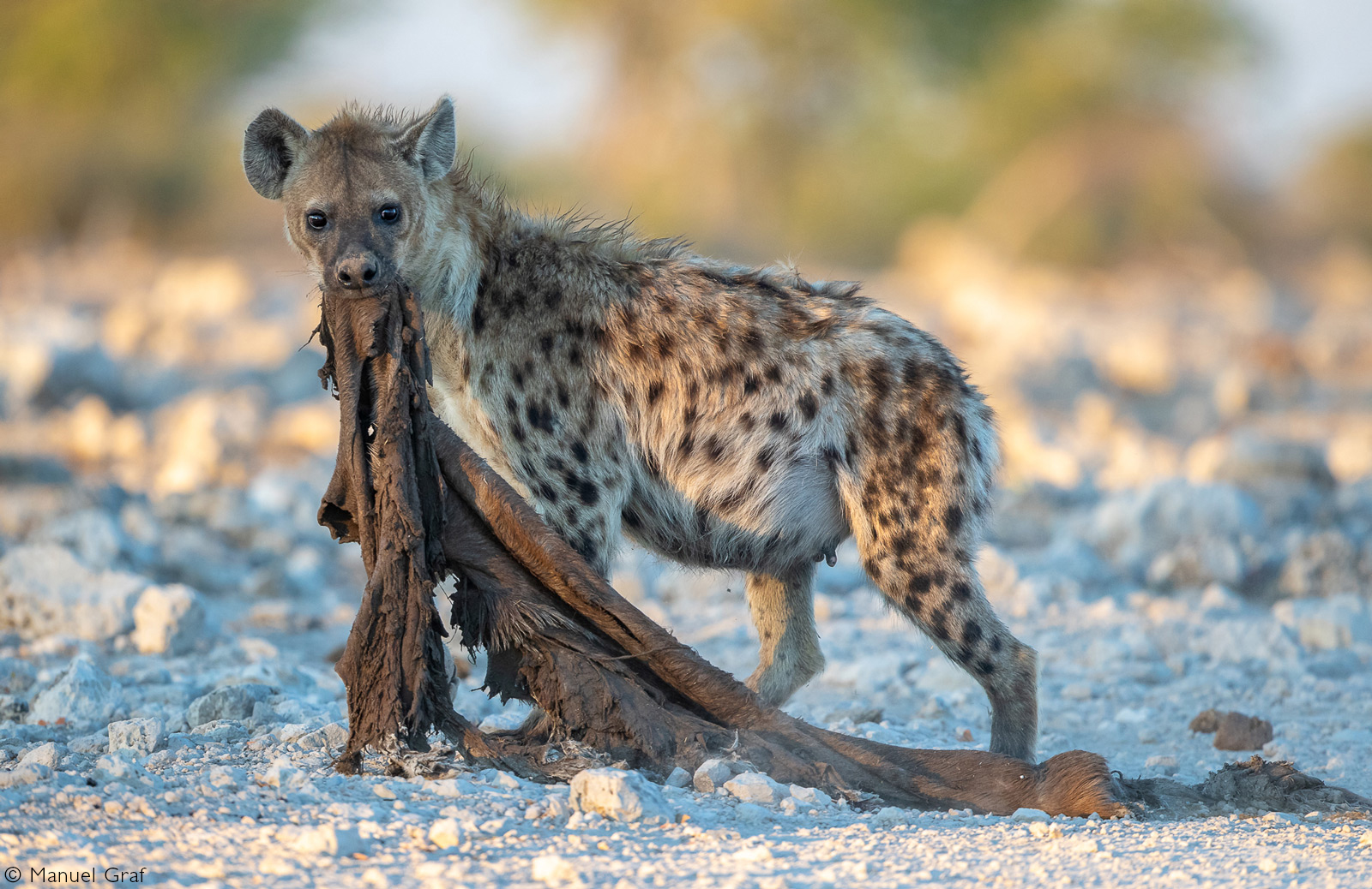 A spotted hyena carries the remains of a kill. Etosha National Park, Namibia © Manuel Graf