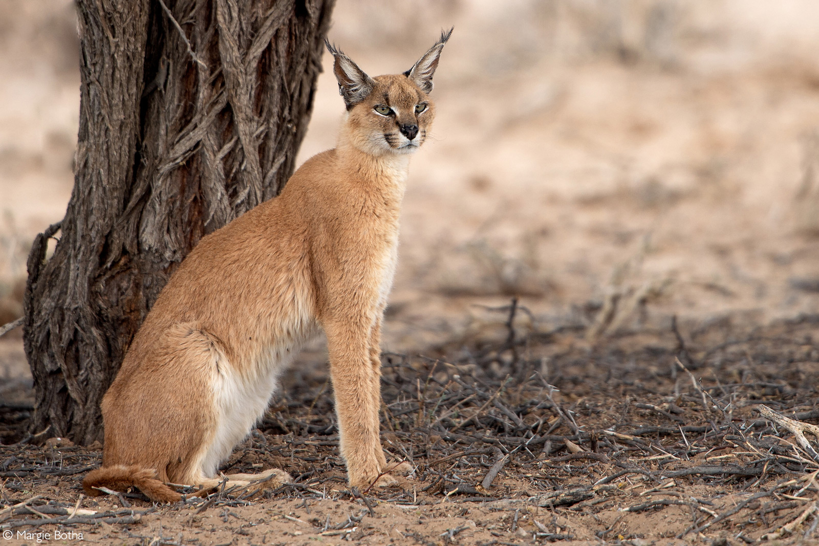 A caracal spotted by the Rooiputs waterhole. Kgalagadi Transfrontier Park, South Africa © Margie Botha