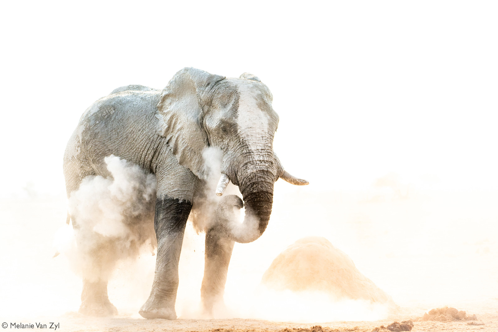 A bull elephant in Nxai Pan douses himself in the white powder so iconic of the Makgadikgadi Salt Pans network in Botswana © Melanie van Zyl