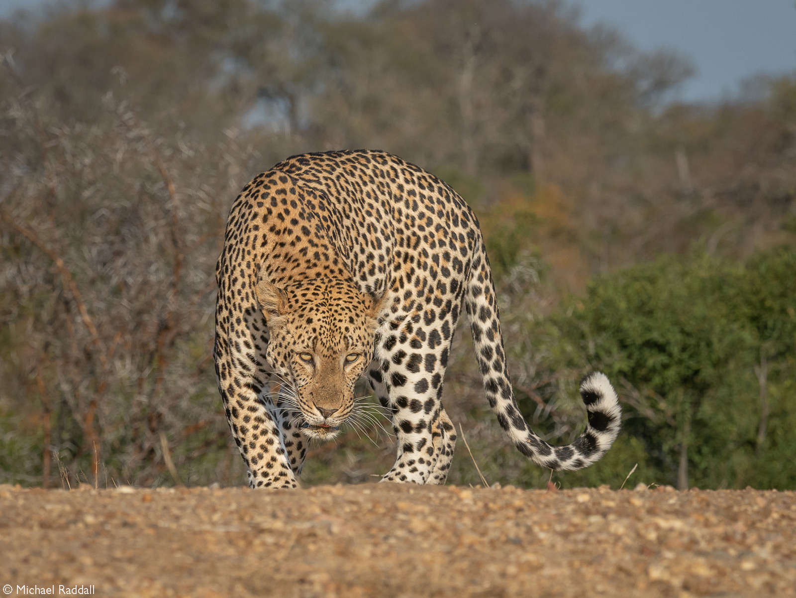 A male leopard makes his way to higher ground after a morning drink at the waterhole. Thornybush Private Game Reserve, South Africa © Michael Raddal