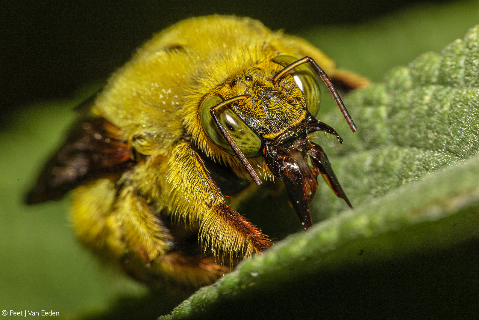 A macro close up of a male carpenter bee on a salvia plant. Carpenter bees construct their nests by boring tunnels in wood – hence their name. Cape Town, South Africa © Peet J. Van Eeden
