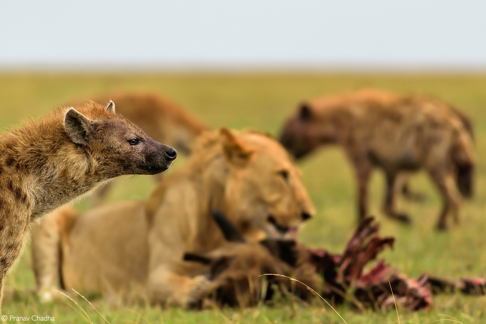 A sub-adult lion comes in to steal a kill made by spotted hyenas, Maasai Mara National Reserve, Kenya © Pranav Chadha