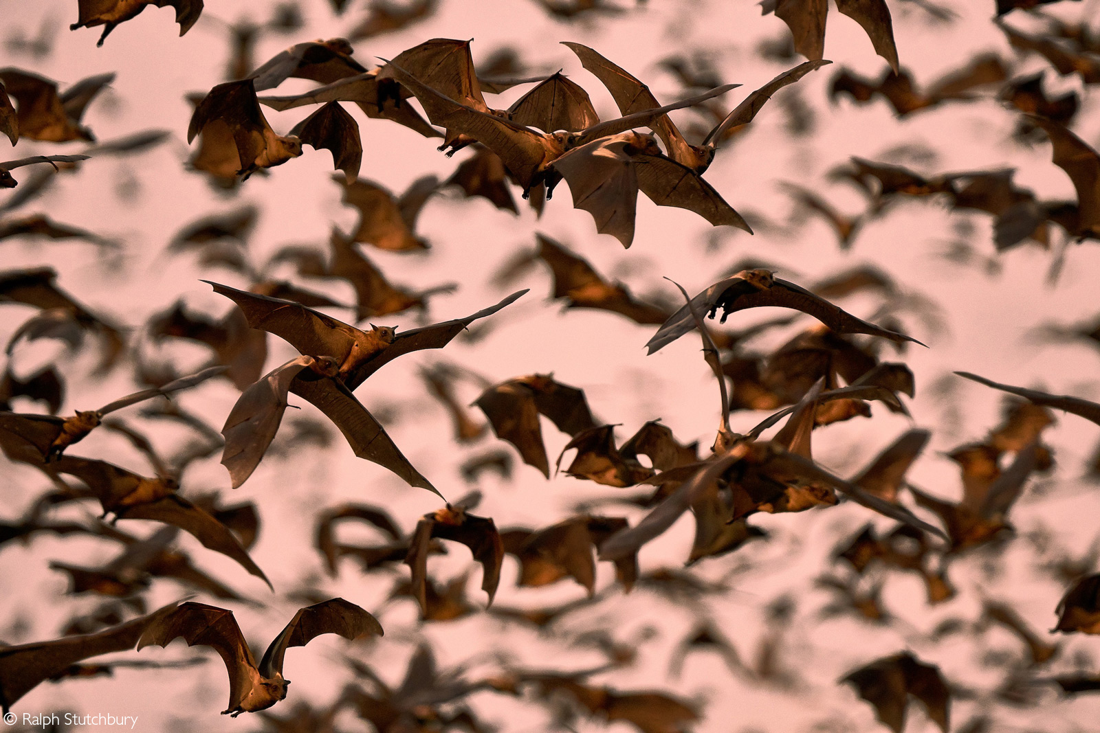 Straw-coloured fruit bats. Kasanka National Park, Zambia © Ralph Stutchbury