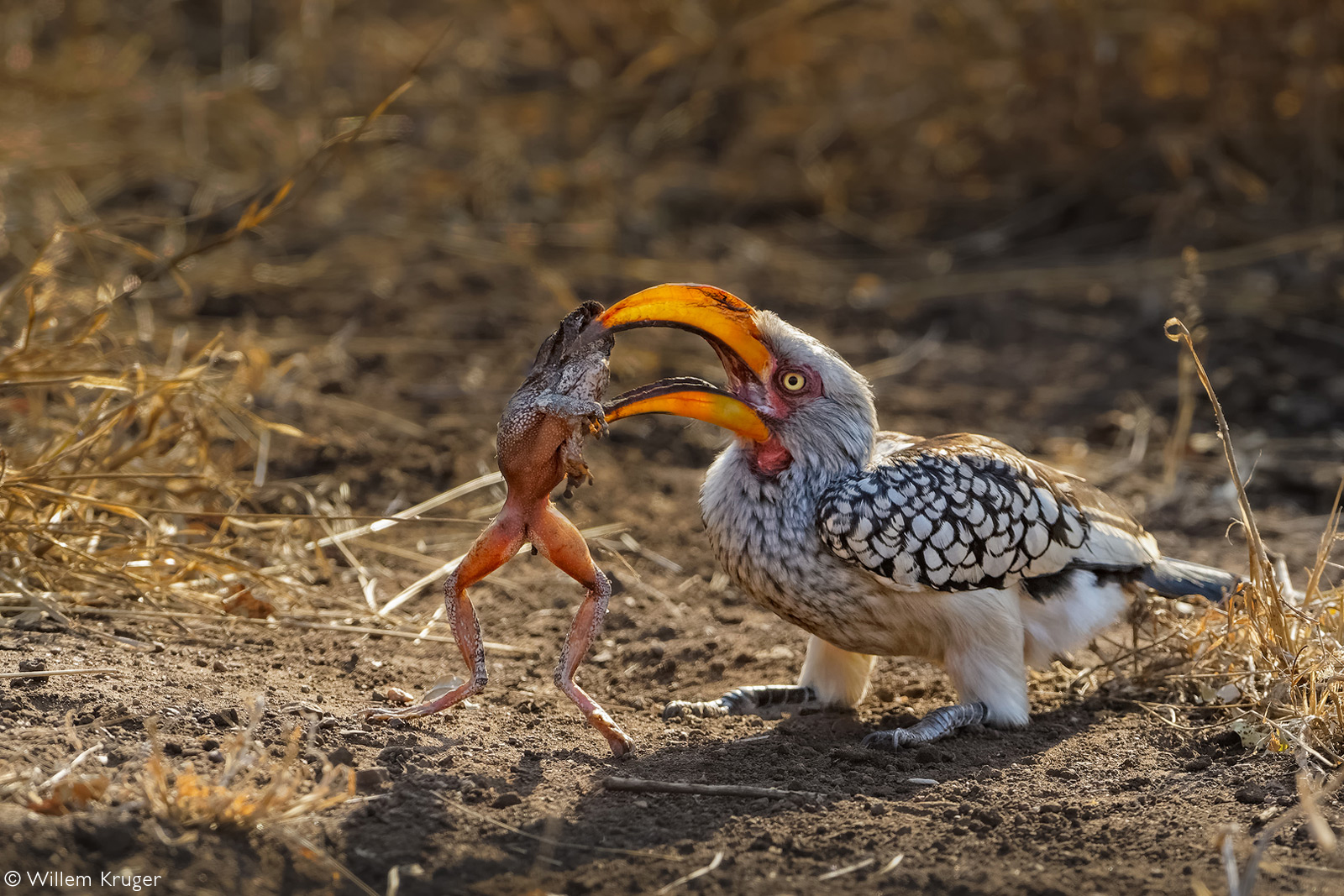 A yellow-billed hornbill with a large toad. Kruger National Park, South Africa © Willem Kruger