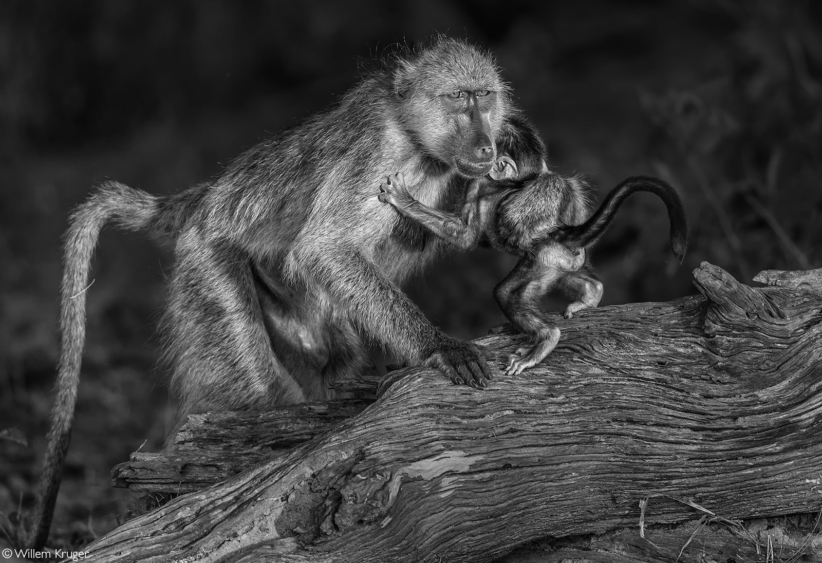 A baboon picks up a baby after time spent drinking from the Chobe River. Chobe National Park, Botswana © Willem Kruger