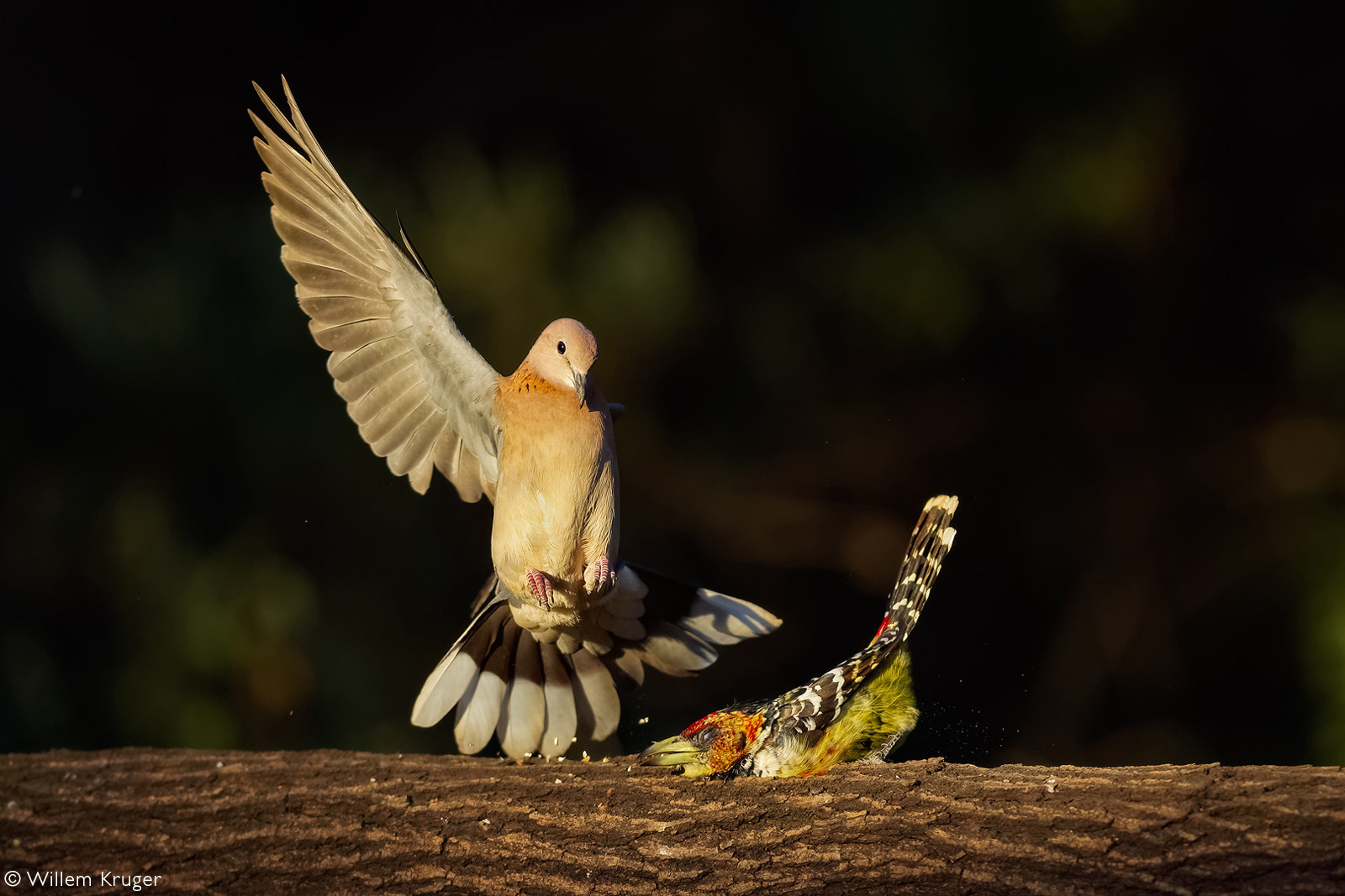 A Cape turtle dove is not impressed with a crested barbet sitting on a branch and tries to chase it away. From a garden in Bloemfontein, South Africa © Willem Kruger