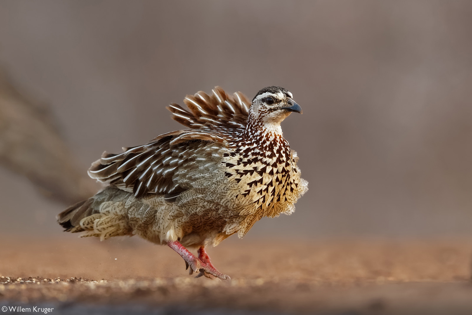 A crested francolin on a windy day. Karongwe Private Game Reserve, South Africa © Willem Kruger