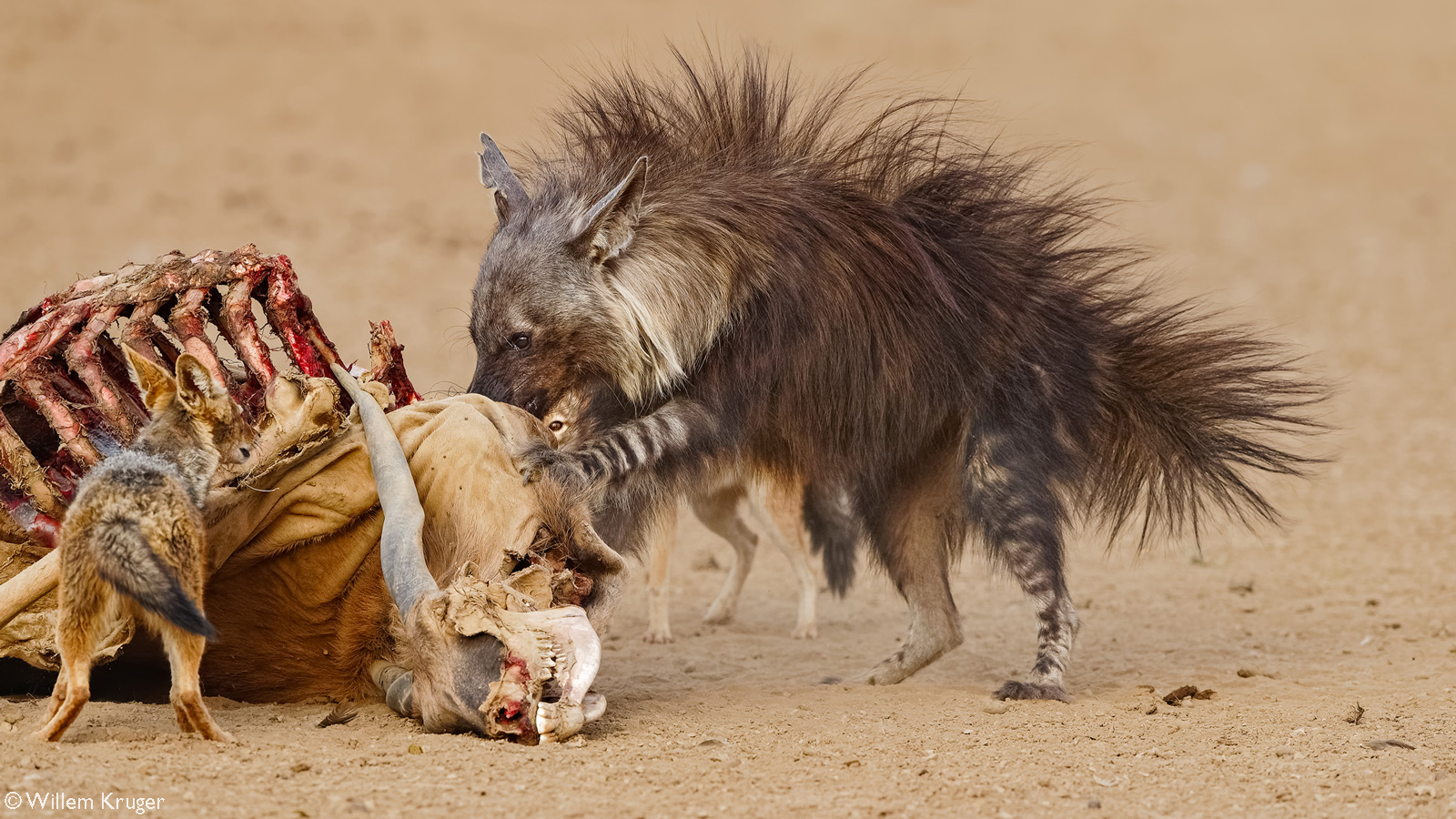 A brown hyena tries to intimidate black-backed jackals at an eland carcass – that was killed the night before by lions – by raising its hair to look bigger. Kij Kij waterhole, Kgalagadi Transfrontier Park, South Africa/Botswana © Willem Kruger